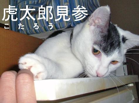 保護猫「バルタン」改め、我が家猫4男「虎太郎」